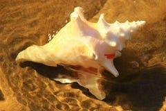 L'eau de coquille de conque en clair de la marée Photographie stock