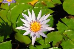 L'eau de fleur Image libre de droits