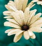 l'eau de fleur de baisses Photo stock