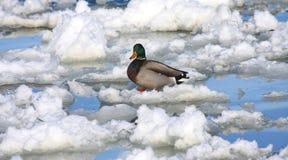 L'eau de glace et un canard de colvert Photos libres de droits