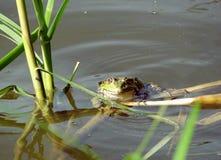 l'eau de grenouille photographie stock libre de droits