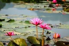 L'eau de Lilly fleurit au chua Huong de Yens de Suoi Photographie stock libre de droits