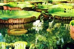 l'eau de lis Image libre de droits