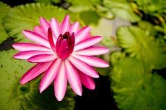 l'eau de lis de fleur Photographie stock libre de droits