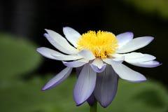 l'eau de lis de fleur Image libre de droits