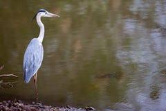 L'eau de négligence d'oiseau de héron Photographie stock libre de droits