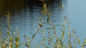 L'eau de ondulation dans un lac derrière des buissons clips vidéos