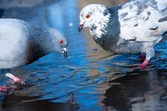 L'eau de pigeons au printemps Photographie stock libre de droits