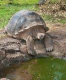 L'eau de recherche de tortue géante de Galapagos Images stock