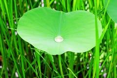 L'eau de roulement naturelle sur la feuille de lotus photo stock