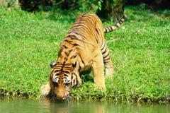 l'eau de tigre de pièce Image stock