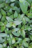 L'eau en bambou ou les COMMERCES-CANTIa FLUMINENSIS d'herbe est profondément serré photographie stock