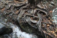 L'eau et racines Photographie stock libre de droits