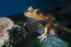 L'eau humide amphibie d'or d'étang de marais de grande grenouille jaune Photos stock