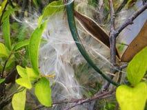 L'eau Jasmine Seeds Images libres de droits