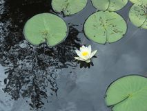 L'eau lilly photographie stock libre de droits