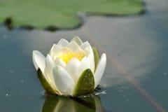 L'eau lilly Photos libres de droits
