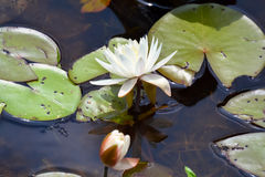 L'eau lilly Images stock