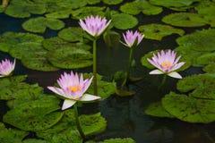 L'eau lilly Photos stock