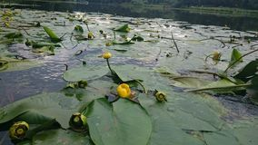 L'eau lilly Photo libre de droits
