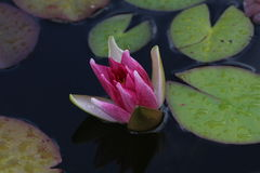 L'eau lilly Photo stock