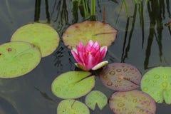 L'eau lilly Image libre de droits