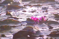 L'eau Lilly In Misty Autumn Morning Photo stock