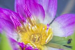 L'eau Lily Closed-Up Photo libre de droits
