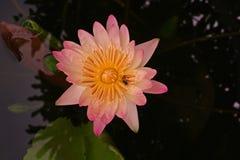 L'eau Lily Flower Images libres de droits