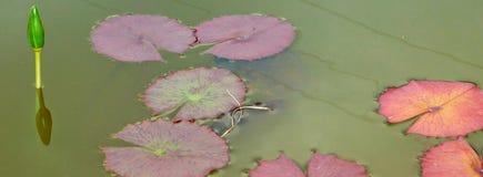 L'eau Lily Leaves dans l'étang Photographie stock libre de droits