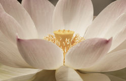 L'eau Lily Lotus Photographie stock libre de droits