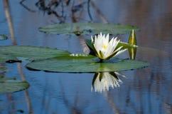 L'eau Lily Pad Flower, Savannah National Wildlife Refuge photographie stock