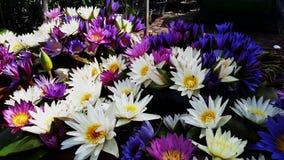 L'eau Lilys Photographie stock libre de droits