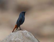 L'eau Plumbeous Redstart (fuliginosa de Rhyacornis) Images stock