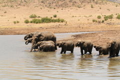 l'eau potable d'éléphants Photos libres de droits