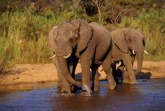 l'eau potable d'éléphants Photographie stock
