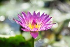 L'eau pourprée lilly Photo libre de droits