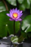 L'eau pourprée lilly sur l'eau Photographie stock libre de droits