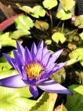 L'eau pourpre de lis d'abeille de pollen de lotus photo libre de droits