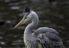 L'eau proche argentée grise de héron Photo stock