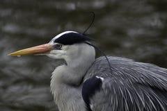 L'eau proche argentée grise de héron Photo libre de droits