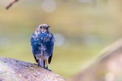 L'eau-Redstart Plumbeous Photo stock