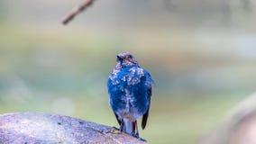 L'eau-Redstart Plumbeous Image libre de droits