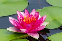 L'eau rose colorée lilly (Yuh Ling) images stock