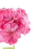 l'eau rose d'isolement par géranium de fleurs de gouttelettes photos stock