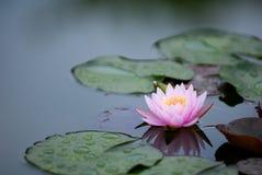 l'eau rose de 2 lis Photos libres de droits