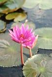 L'eau rose de lis Images stock