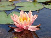 L'eau rose lilly dans l'étang Photos stock