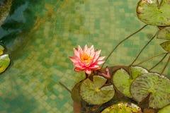 L'eau rose lilly dans un étang d'eau pendant un jour ensoleillé, Salem, Yercaud, tamilnadu, Inde, le 29 avril 2017 Images stock