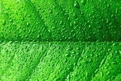L'eau se laisse tomber sur la belle feuille verte - fermez-vous vers le haut du tir Image filtrée : effet traité par croix photographie stock